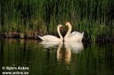 Ducks, Swans, Geese etc.