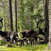 _BAC2736 Renar, skogsren Dalarna 1280 72dpi