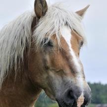 Ardennerhäst, Halland _BAC3063 1280 72dpi