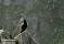 _BAC5890 Lunnefågel, Norge 1280 72dpi