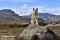 _BAC5582 Bamse, Norsk Buhund i Jotunheimen, Norge 1280 72dpi