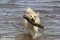 _BAC2816 Bamse, Norsk Buhund 1280 72dpi