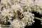 _BAC2854 Insekt, Humlebagge, Dalarna 1280 72dpi