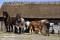 _BAC5241 Äskhults by, hästar vid Derras, Halland 1280 72dpi