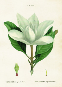 Posters Vintage - Magnolia