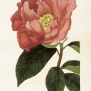 Vintage Poster - Kamelia (rödrosa blomma)