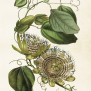 Posters Vintage - Passionsblomma grön
