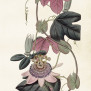 Posters Vintage - Passionsblomma rosa ny