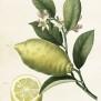 Vintage vykort/miniposters - Vintage vykort/miniposter citron