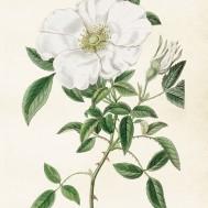 Poster vit ros