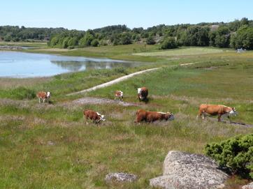 Här släpps kor och kalvar på Ängholmen