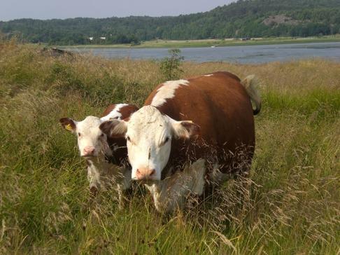 Här går kon med sin kalv och har det gott  i Bernhardes hage på Ängholmen