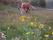 Slåttergubbe i Daleklämma