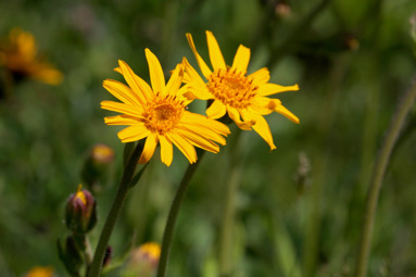 Denna gula blomma liknar en gul prästkrage men finns endast i gamla beteshagar