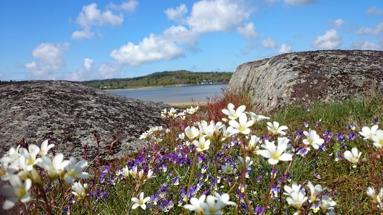 Evert Taubes blommor på Ängholmen