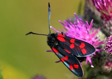 På sensommaren kan man se denna färggranna fjäril.