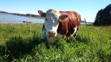 Småskalig beteshage.  I denna hagen  finns lagom med gräs för tre djur under hela sommaren.