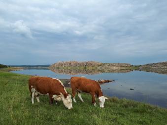 Korna ger oss en vacker natur och ett fantastiskt gott kött.