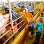 Barnen hälsar på grisarna, på Vreten