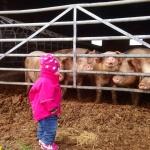 Alba hälsar på grisarna i lösdriften på Vreten