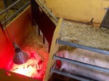 På Vreten har grisarna det bra. Med både halm och strö i boxarna. Kultingarna har egna små kryp-in med värmelampa.