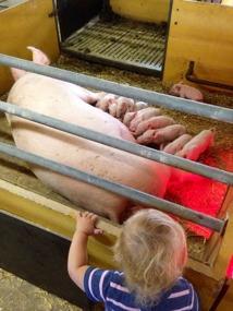 Lilla Alba hälsar på en sugga och hennes små kultingar på Vretens Grisproduktion.