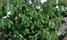 Potaitsplantor i växthuset