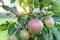 Äpplen Öland