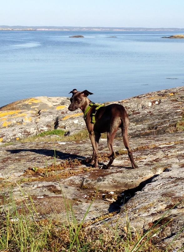 Vår hundvalp Erill. Foto: Vera Waldemarsdotter