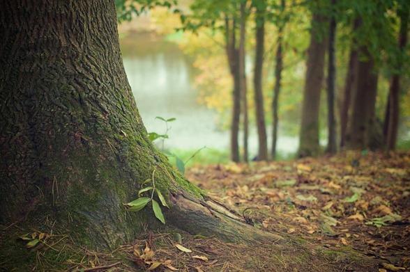 Foto: Pixabay, Allemansrätten, Träd, Skogen, Rötter, Skog