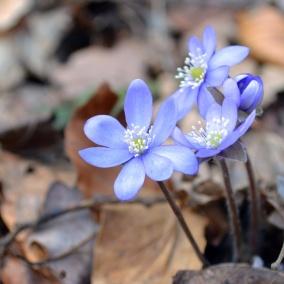 anemone-hepatica-652736_1920