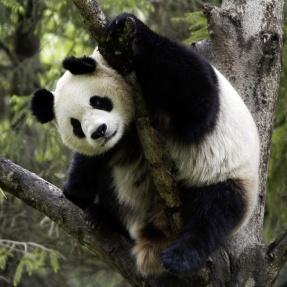 Ge bort ett fadderskap - en etisk morgongåva! Foto: Bernard De Wetter, WWF