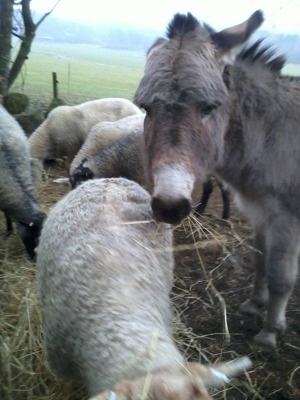 Vår åsna, som på denna bild tydligt visar hur dumt han tycker det är att jämföra sig med andra....;-)