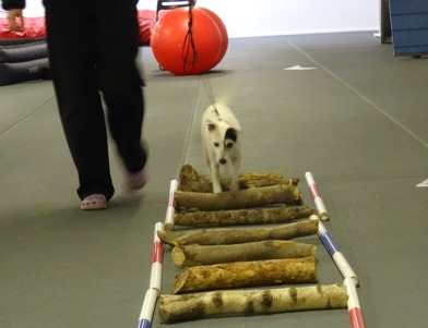 ...eller vedträn! 13-åriga Bissie visade energi och träningsvilja till tusen!