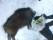 60kg vildsvin skjuten för Vit mossens Seri ägare Peter Nyberg
