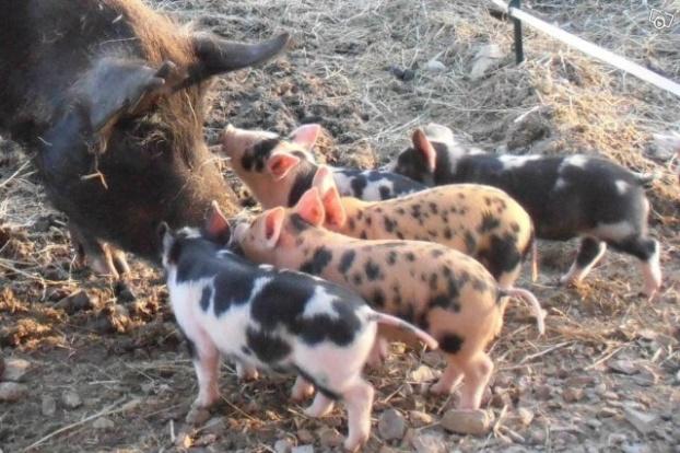 Våra grisar 1mån gamla. Våra tre är i mitten. Foto: Uppfödaren