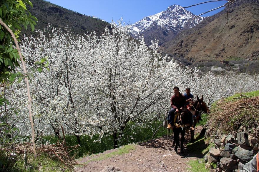 """""""Körsbärsdalen i Nangijala"""" brukar Marockoresans gäster säga under vandringen, när fruktträden blommar och Atlasbergen är snötäckta."""