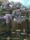wisterian