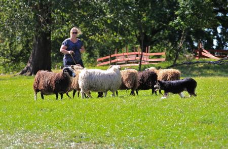 Border collie i arbete med vallning av får.
