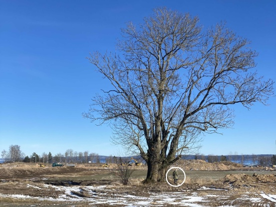 Asken är registrerad som ett jätteträd hos Länsstyrelsen för sitt skyddsvärde och växer mitt i det framtida parkstråket.