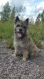 Siv 2014, Cairn Terrier