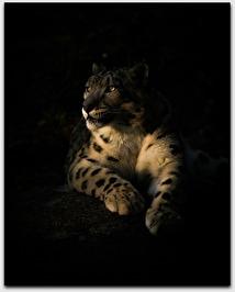 Vit Snöleopard