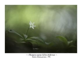 Skogsstjärna