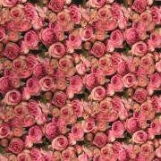 Ljuva rosor liten vävd bomull