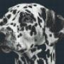 Dalmatiner - Dalmatiner - 4 rbp