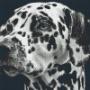 Dalmatiner - Dalmatiner - 8 rbp