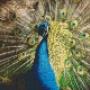 Påfågel - Påfågel - 4 rbp