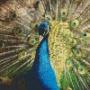 Påfågel - Påfågel - 6 rbp