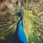 Påfågel - Påfågel - 16 rbp