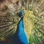 Påfågel - Påfågel - 25 rbp